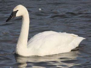 Trumpeter Swan Picture