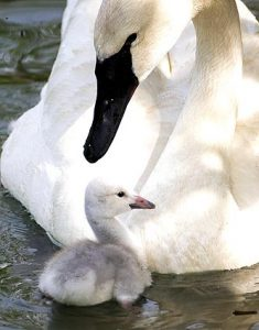 Images of Trumpeter Swan