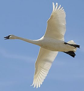 Photos of Trumpeter Swan