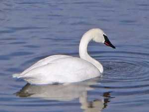 Pictures of Trumpeter Swan