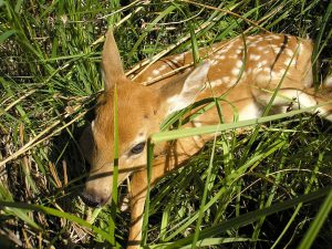 Images of White-tailed Deer