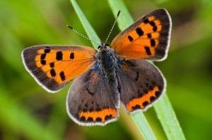 Images of American Copper Butterfly