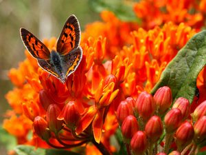 Photos of American Copper Butterfly