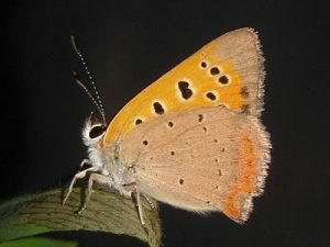 Pictures of American Copper Butterfly