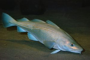 Pictures of Atlantic Cod