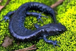 Photos of Blue Spotted Salamander