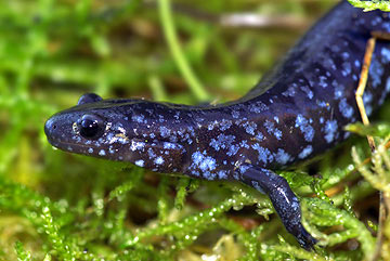 What are some salamander facts?