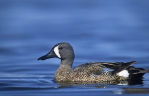 Blue Winged Teal Picture