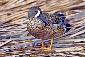 Images of Blue Winged Teal