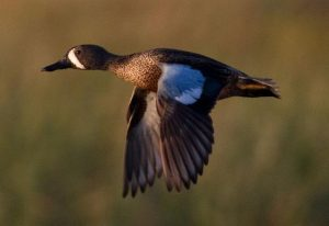 Photos of Blue Winged Teal