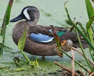 Pictures of Blue Winged Teal
