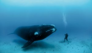 Images of Bowhead Whale