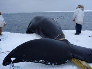 Photos of Bowhead Whale