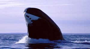 Pictures of Bowhead Whale