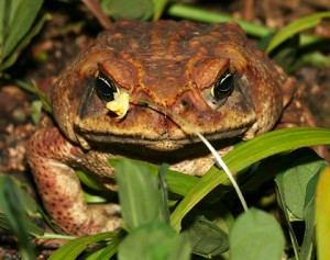 Images of Cane Toad
