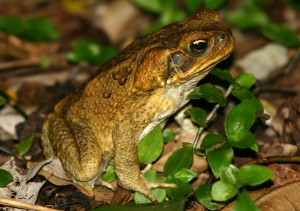 Photos of Cane Toad