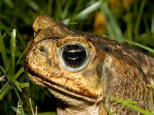 Pictures of Cane Toad