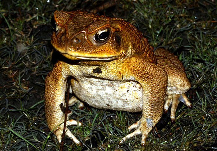 cane toad Cane toads originated from south america, but were intentionally introduced to  guam as a biological control for other pests these large toads.