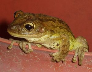 Cuban Tree Frog Picture