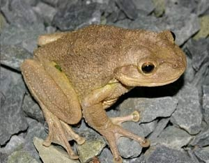 Images of Cuban Tree Frog