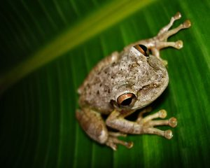 Photos of Cuban Tree Frog