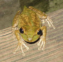 Pictures of Cuban Tree Frog