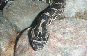 Eastern Massasauga Rattlesnake Picture
