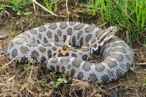 Photos of Eastern Massasauga Rattlesnake
