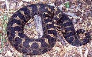 Pictures of Eastern Massasauga Rattlesnake
