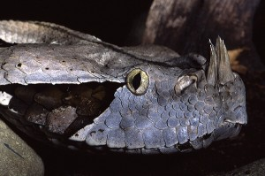 Pictures of Gaboon Viper