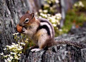 Images of Golden-mantled Ground Squirrel