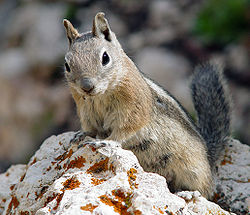 Photos of Golden-mantled Ground Squirrel