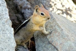 Pictures of Golden-mantled Ground Squirrel