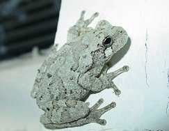 Images of Gray Tree Frog