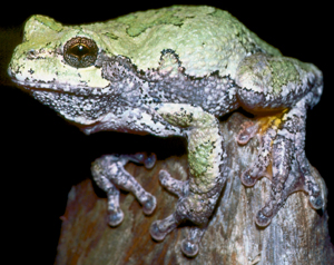 Photos of Gray Tree Frog