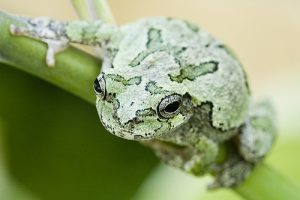 Pictures of Gray Tree Frog
