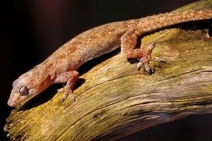 House Gecko Picture