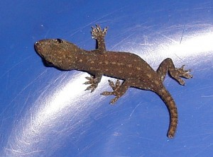 Images of House Gecko