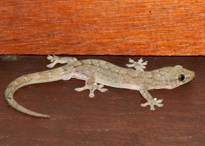 Photos of House Gecko