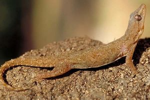 Pictures of House Gecko