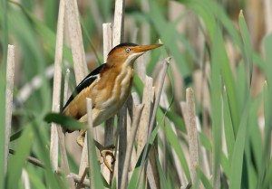 Images of Least Bittern