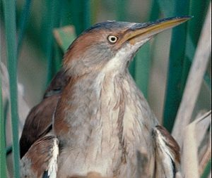 Pictures of Least Bittern