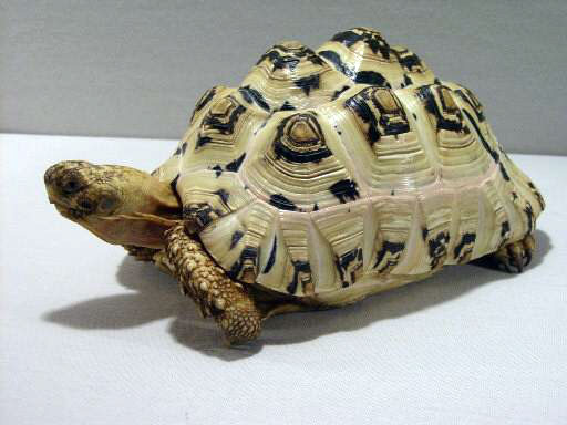 Images of Leopard Tortoise
