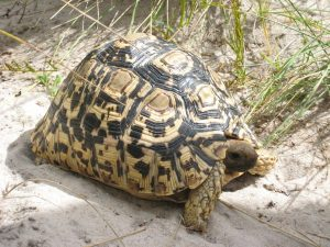 Photos of Leopard Tortoise
