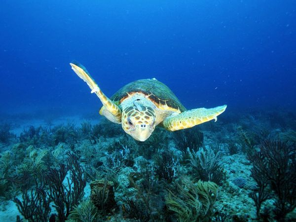 Images of Loggerhead Sea Turtle