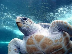 Photos of Loggerhead Sea Turtle