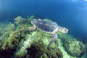 Pictures of Loggerhead Sea Turtle