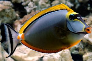 Naso Tang Picture