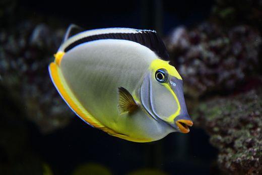 Naso tang for Tropical fish species