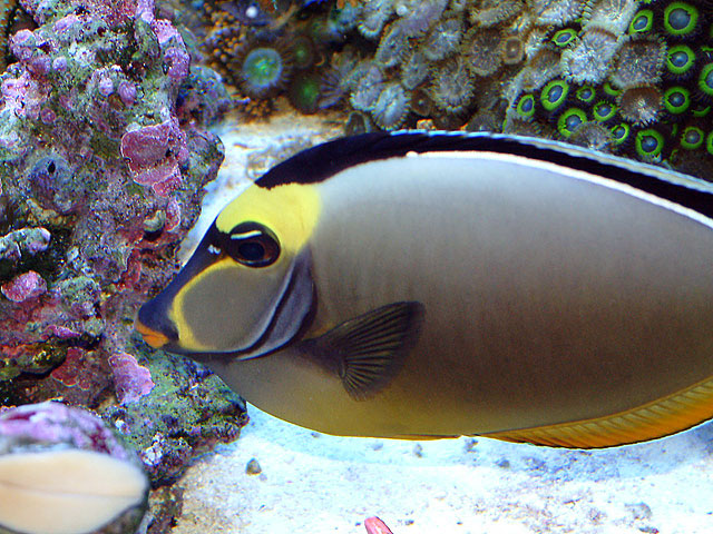 Naso tang for Fish without scales